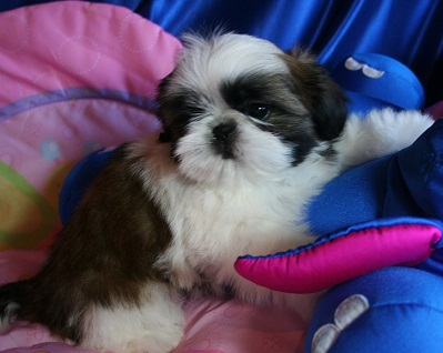 Breeder Orlando Shih Tzu Puppies Tampa Florida