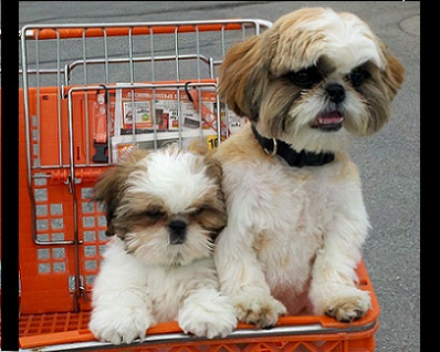 Breeder Orlando Shih Tzu Puppies Tampa Florida